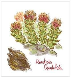 about Rhodiola Rosea's root