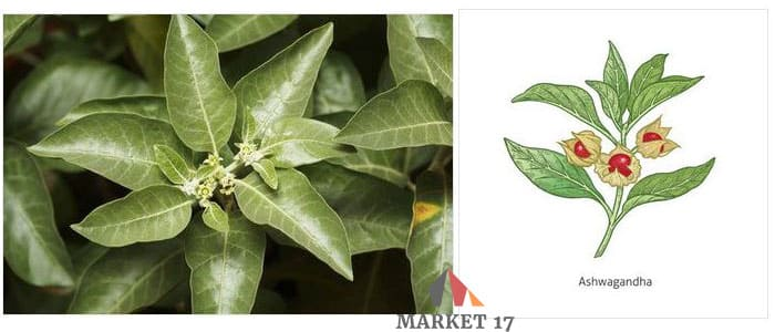 Ashwagandha Herb Reviews